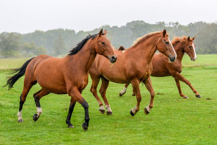 Three cantering horses